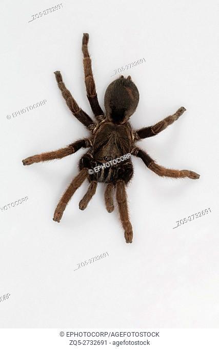 Tarantula, Haploclastus cervinus Kodaikanal, Tamil Nadu. An endemic tarantula to the Palni hills described in 1892