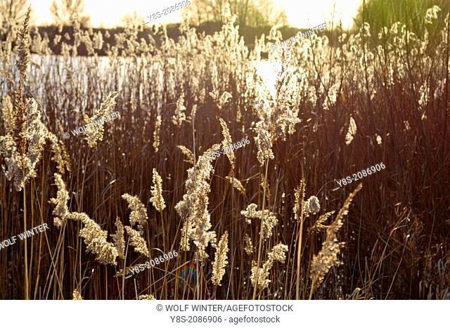 Reed at the bank of Lake Tankum near Wolfsburg, Lower Saxony, Germany