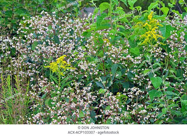 Flowering spreading dogbane and goldenrod, Greater Sudbury, Ontario, Canada