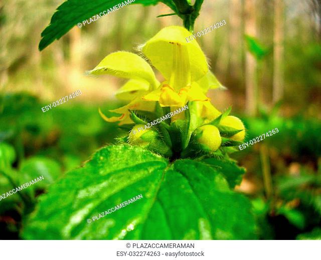 Close up of the wild flower Lamium galeobdolon aka Dead-nettle or Yellow Archangel