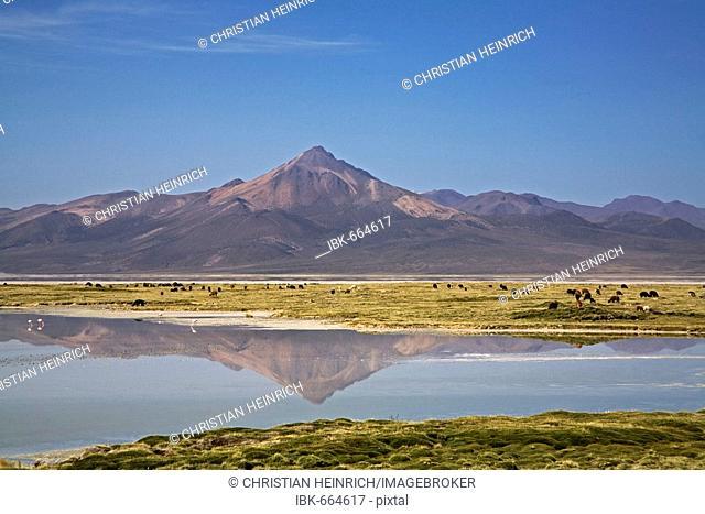 Mountain landscape with llamas (Lama glama), Alpacas (Vicugna pacos) and flamingos (Phoenicoparrus), salt lake Salar de Surire