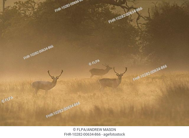 Fallow Deer (Dama dama) three bucks, standing in mist at dawn, Bradgate Park, Leicestershire, England, October