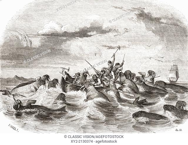 Sailors on a boat killing walruses in the 19th century. From Le Magasin Pittoresque, published 1843