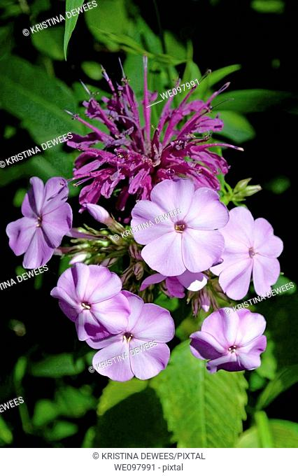 Purple Monarda with Purple Phlox