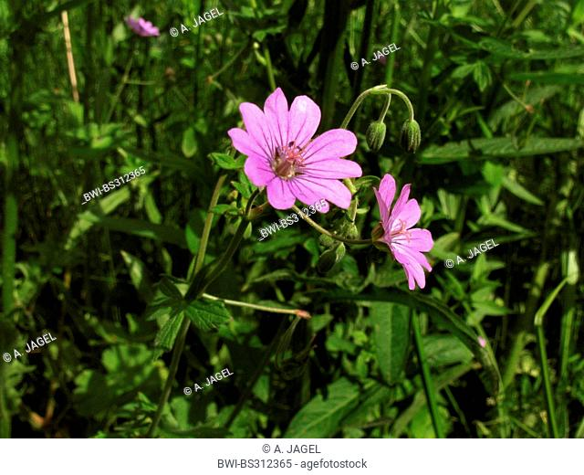 hedgerow cranesbill, Pyrenees cranesbill (Geranium pyrenaicum), blooming, Germany, North Rhine-Westphalia