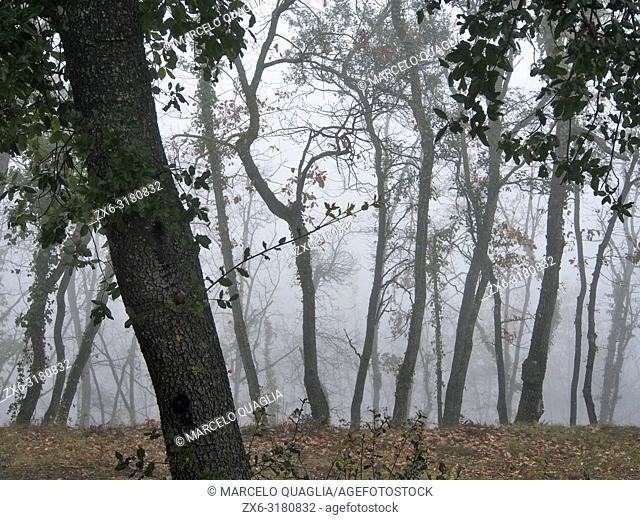 Misty winter morning at Oak tree forest (Quercus robur). Lluçanès region, Barcelona province, Catalonia, Spain