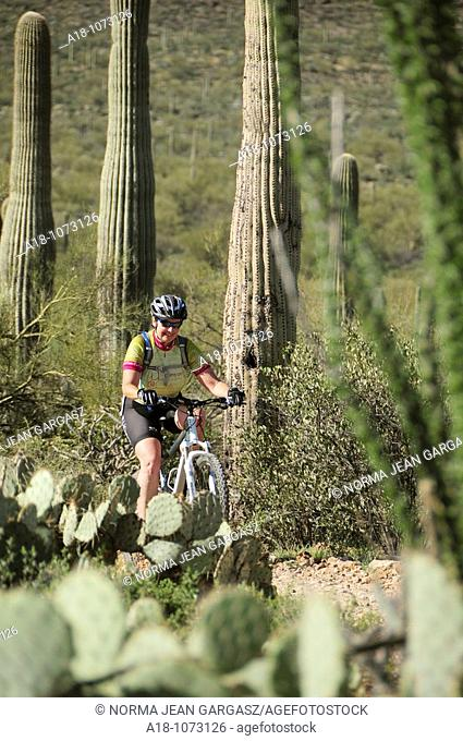 A mountain bike cyclist rides along saguaro cactus Carnegiea gigantea in the Sonoran Desert on the Starr Pass Trail in Tucson Mountain Park in the Tucson...