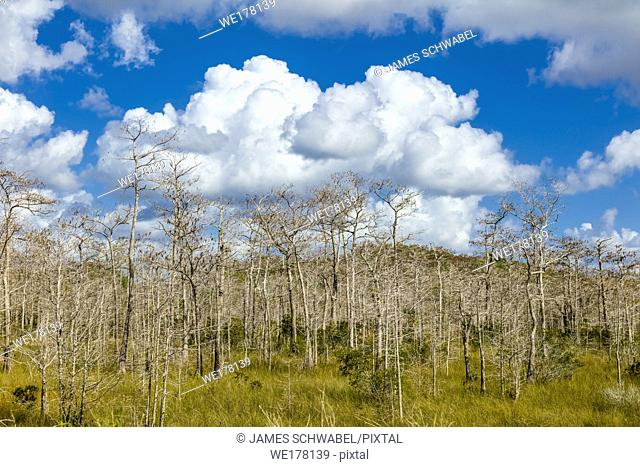 Big white clouds in blue sky behind Cypress trees at Kirby Storter Roadside Park in Big Cypress National Preserve on Tamiami Trail in southern Florida