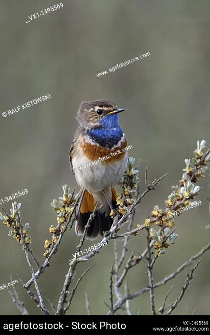 Bluethroat / Blaukehlchen ( Luscinia svecica ) adult white spotted male, perched on seabuckthorn, watching, territorial behavior, wildlife, Europe.