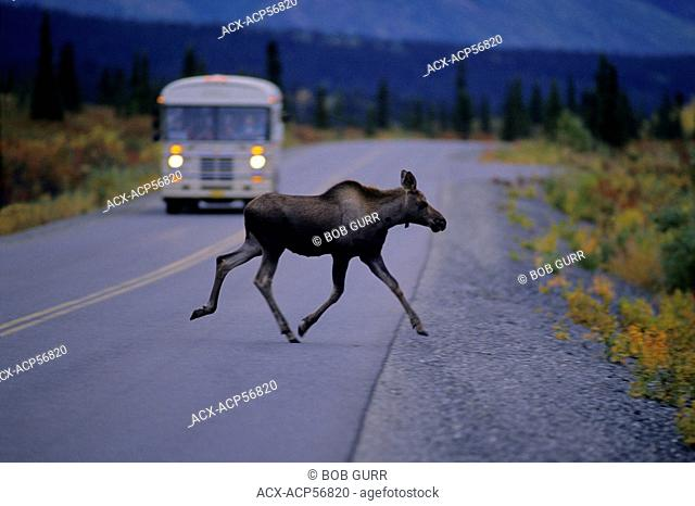 Moose Alces alces Juvenile crossing highway. Denali National Park, Alaska, United States of America