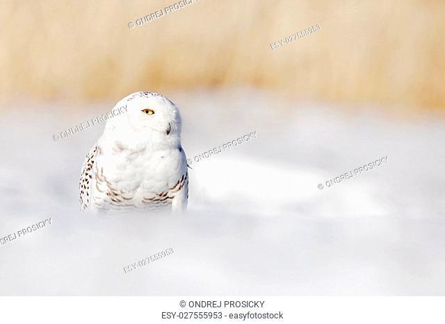 Snowy owl, Nyctea scandiaca, white rare bird with yellow eyes si