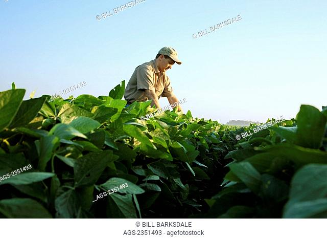 Agriculture - A crop consultant examines a mid growth soybean crop at the mid-to-late pod set stage / Arkansas, USA