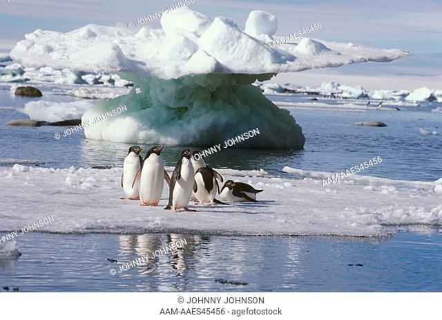 6 Adelie Penguins on Ice Floe (Pygoscelis adeliae), Weddell Sea, Antarctica
