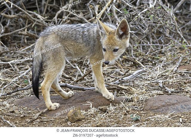 Black-backed jackal (Canis mesomelas), cub, observing the surroundings, Kruger National Park, South Africa, Africa