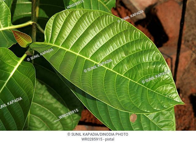 Ayurvedic medicinal plant , Scientific name anthocephalus cadamba miq , Botanical name: rubiaceae , English name anthocephalus chinensis