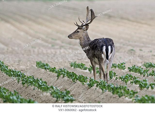Wild Fallow Deer (Dama dama) looking for food on a fresh potato field, wildlife, Germany, Europe
