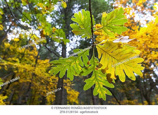 Oak leaves at Estrela Mountain, Portugal