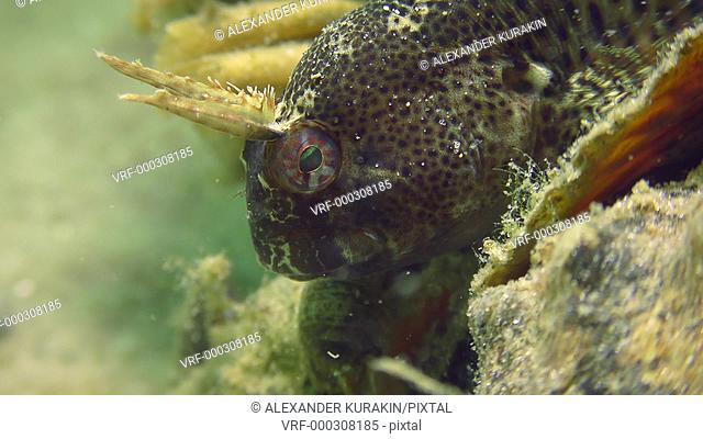 A portrait of a very charming fish - Tentacled blenny (Parablennius tentacularis)