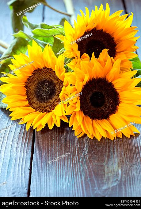 Three flowers of a sunflower on a dark wooden table