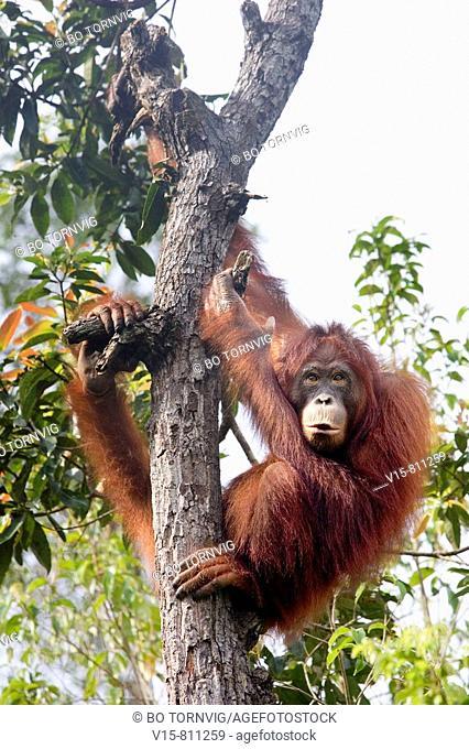 Orangutan in tree on Borneo