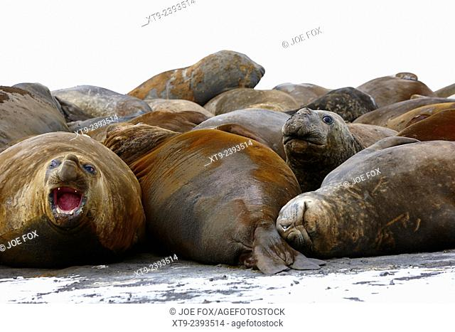 male elephant seals hannah point livingstone island Antarctica