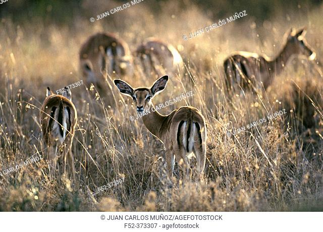 Blackfaced impalas (Aepyceros melampus)