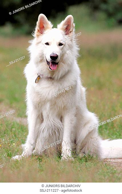 Berger Blanc Suisse. Adult sitting on a meadow. Germany