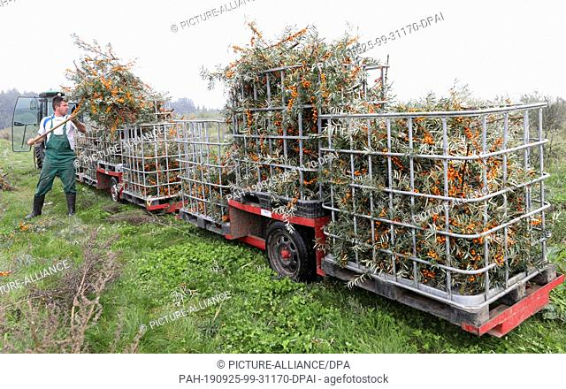 25 September 2019, Mecklenburg-Western Pomerania: On Forst Schneebecke an employee loads sea buckthorn branches into the transport wagons