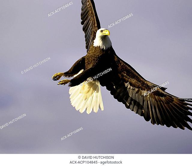 Bald eagle, Haliaeetus leucocephalus, taken at Cow Bay, Prince Rupert, BC Canada