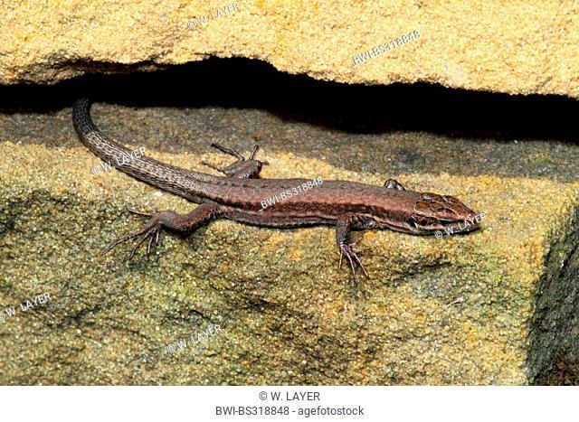 common wall lizard (Lacerta muralis, Podarcis muralis), in a wall gap, Germany