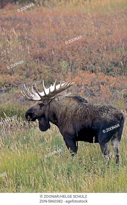 Elchschaufler in der Tundra - (Alaska-Elch) / Bull Moose standing in the tundra - (Alaska Moose) / Alces alces - Alces alces (gigas)
