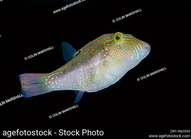 Compressed Toby (Canthigaster valentini), Melasti dive site, Seraya, Karangasem, Bali, Indonesia, Indian Ocean