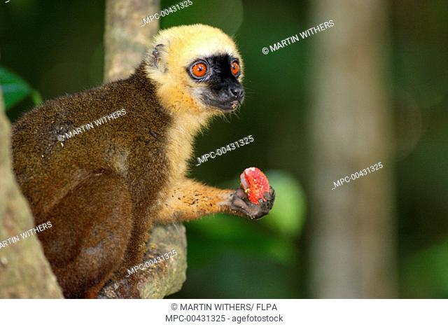 White-fronted Brown Lemur (Eulemur fulvus albifrons) male feeding on fruit, Nosy Mangabe Reserve, Madagascar