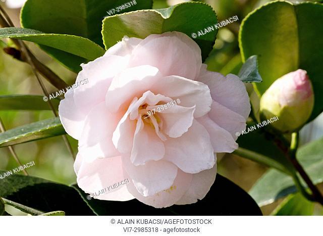 Camellia higo 'Showa-No-Hikari' Obtenteur : Nuccio (USA)