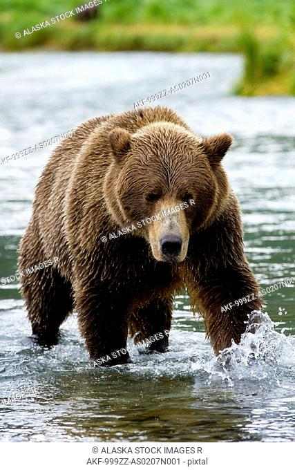 Coastal brown bear chasing salmon in Geographic Harbor, Katmai National Park & Preserve, Southwest Alaska, summer