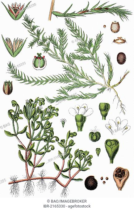 Water Blinks (Montia minor), and Coral-necklace (Illecebrum verticillatum), right, medicinal plant, useful plant, chromolithograph, circa 1790