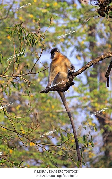 South east Asia, India, Tripura state, Trishna wildlife sanctuary, Capped langur (Trachypithecus pileatus)