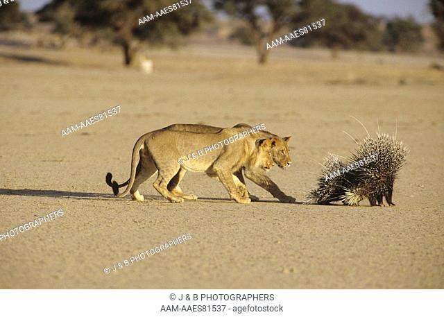 Lion (Panthera leo) Stalks Porcupine (Hystrix africae- australis) Kalahari Gemsbok Park