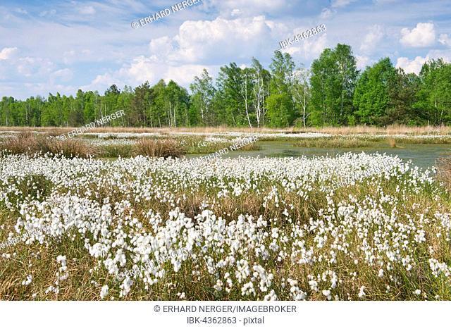Cotton grass in moor (Eriophorum angustifolium), Emsland, Lower Saxony, Germany