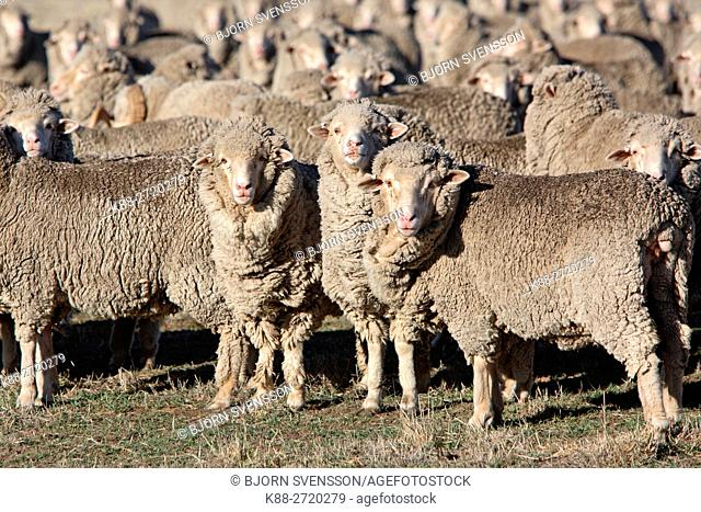 Sheep on a farm in Western Victoria, Australia