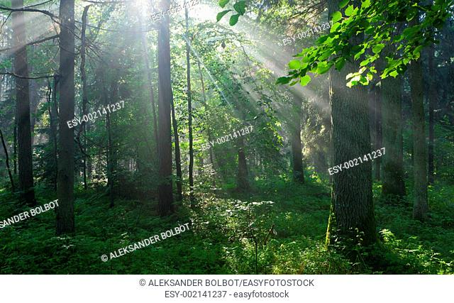 Sunbeam entering rich deciduous forest, Bialowieza Forest, Podlasie Province, Poland