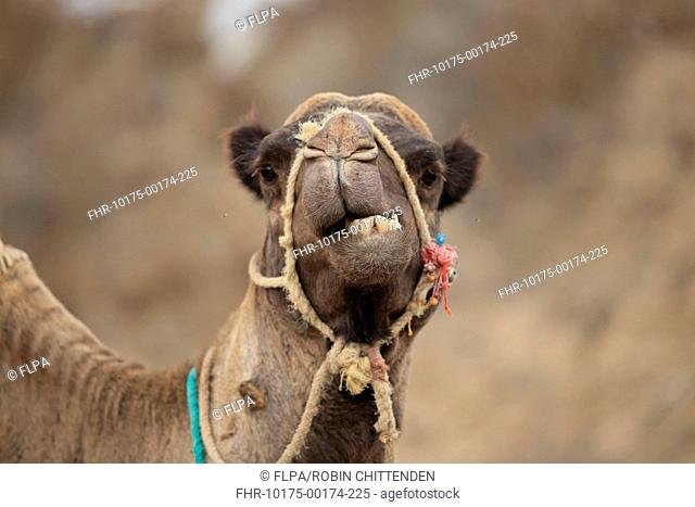 Dromedary Camel (Camelus dromedarius) adult, close-up of head, wearing bridle, Morocco, November