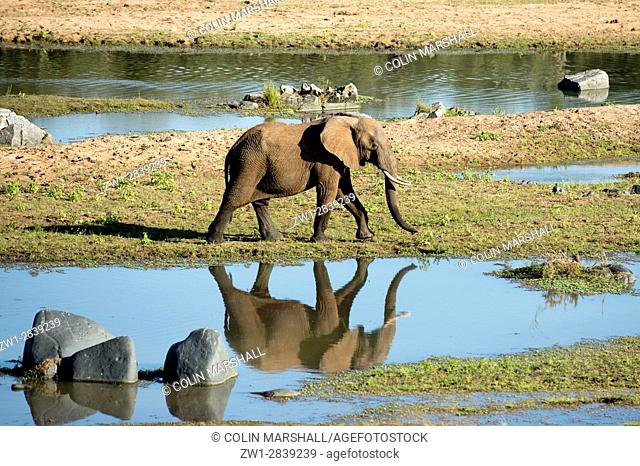 Elephant (Loxodonta africana) walking with reflection in water, Kruger National Park, Transvaal, South Africa