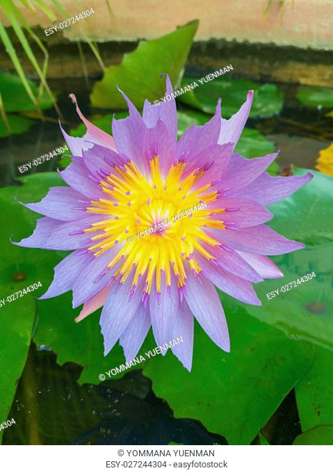 Closeup beautiful purple lotus and yellow pollen