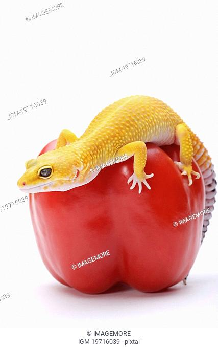 Leopard Gecko on red bell pepper against white background, close up