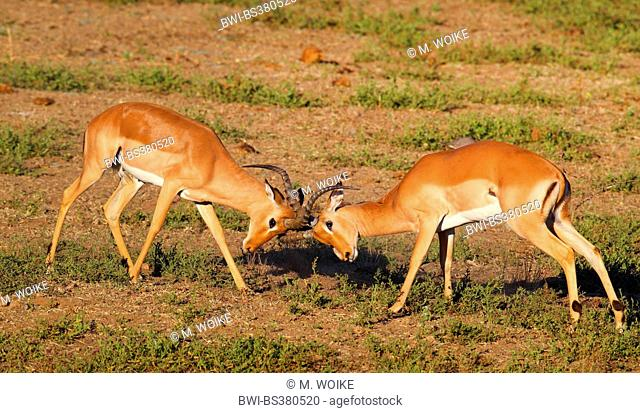impala (Aepyceros melampus), two fighting males, South Africa, Krueger National Park