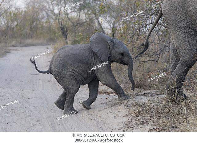 Africa, Southern Africa, South African Republic, Mala Mala game reserve, . African bush elephant or African savanna elephant (Loxodonta africana), baby