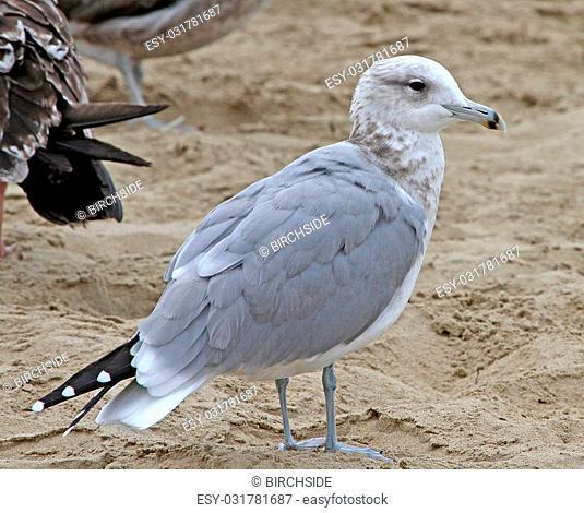 California Gull (Larus californicus) adult in winter plumage, Pismo Beach, CA