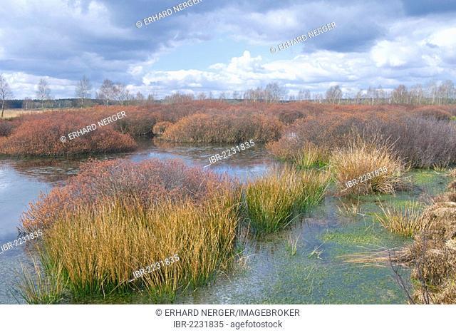 Bog Myrtle or Sweet Gale (Myrica gale), raised bog of Tinner Dose, Emsland, Lower Saxony, Germany, Europe