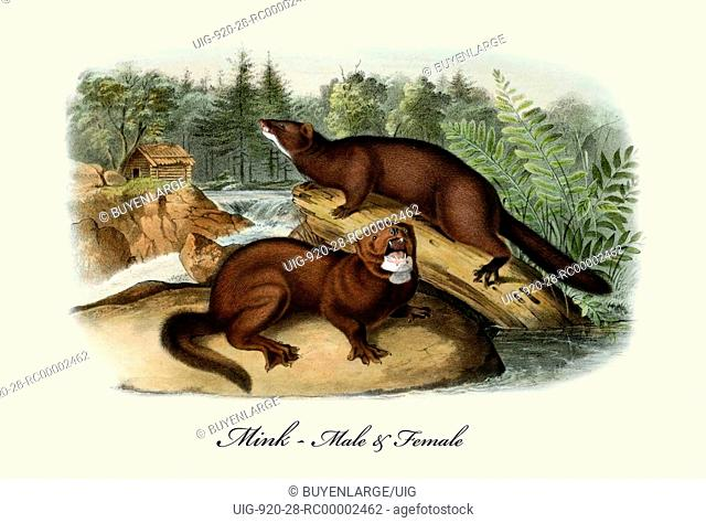 Mink-male and female